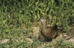 Thumbnail Blue-winged Teal (Anas discors), female, Starr County, Rio Grande Valley, Texas, USA