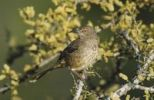 Thumbnail Curve-billed Thrasher (Toxostoma curvirostre), adult on blooming Blackbrush, Starr County, Rio Grande Valley, Texas, USA