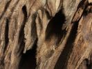 Thumbnail Weathered hardwood from the African steppe
