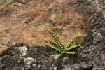 Thumbnail Maidenhair Spleenwort (Asplenium trichomanes) on a stone wall
