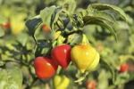 Thumbnail Yellow and Red Chili Peppers (Capsicum) on a bush