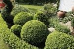 Thumbnail Boxwood trees in garden