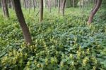 Thumbnail Alluvial forest and Yellow Archangel (Lamium galeobdolon), Pielach near Loosdorf, Upper Austria, Europe