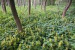 Thumbnail Alluvial forest and Yellow Archangel (Lamium galeobdolon), Pielach near Loosdorf, Upper Austria, Europe