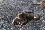 Thumbnail Frog (Rana temporaria), spawning