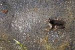 Thumbnail Frog (Rana temporaria), spawning