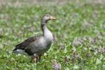 Thumbnail Greylag Goose (Anser anser)