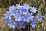 Thumbnail Kidneywort (Hepatica nobilis)