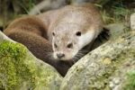 Thumbnail Portrait of a European Otter (Lutra lutra)