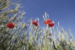 Thumbnail Red poppies in front of a field of grains