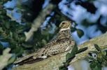Thumbnail Common Nighthawk (Chordeiles minor), adult on branch, Sinton, Corpus Christi, Coastal Bend, Texas, USA