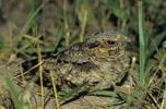 Thumbnail Common Pauraque (Nyctidromus albicollis), young at night on nest, Cameron County, Rio Grande Valley, Texas, USA