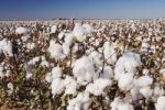 Thumbnail Cotton Plant (Gossypium hirsutum), cotton field, Lubbock, Panhandle, North Texas, USA