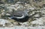 Thumbnail Common Sandpiper (Actitis hypoleucos), adult, Scrivia River, Italy, Europe