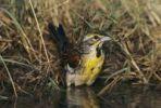 Thumbnail Dickcissel (Spiza americana), male bathing, Lake Corpus Christi, Texas, USA