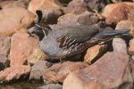Thumbnail Gambel's Quail (Callipepla gambelii), male, Tucson, Sonoran Desert, Arizona, USA