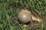 Thumbnail Gulf Coast Toad (Bufo valliceps), male calling at night, vocal sac inflated, Willacy County, Rio Grande Valley, Texas, USA