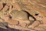 Thumbnail Dassie Rat (Petromus typicus) in Twyfelfontein, Namibia, Africa