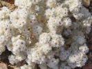 Thumbnail Helichrysum (Helichrysum roseoniveum), Namibia, Africa