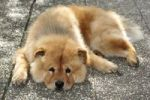 Thumbnail A male Chow Chow dog resting on stone slabs