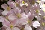 Thumbnail Pink Anemone Clematis (Clematis montana Rubens)