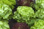 Thumbnail Lettuce