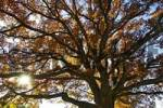 Thumbnail oak in park in autumn fall autumn foliage Starnberg Lake Bavaria Germany