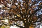 Thumbnail oak in park in autumn fall autumn foliage Starnberg Lake Bavaria Germany