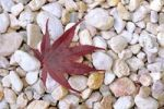 Thumbnail Leaf of a Japanese Maple (Acer palmatum), lying on pebbles