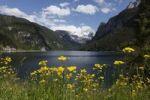 Thumbnail Vorderer Gosausee lake, Rough Hawksbeard (Crepis biennis), Dachstein mountain, Dachsteingebirge mountains, Gosau, Salzkammergut area, Upper Austria, Austria, Europe