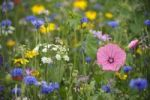Thumbnail Summer meadow, Cornflowers (Centaurea cyanus), Yarrow (Achillea), Mallow (Malva), yellow Marguerites (Leucanthemum)