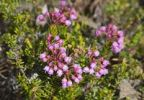 Thumbnail Blooming Pink Mountain Heather (Phyllodoce empetriformis), Chilkoot Trail, Chilkoot Pass, Yukon Territory, British Columbia, B. C., Canada