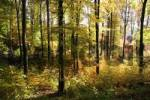 Thumbnail Autumnal colored beech forest in morning light