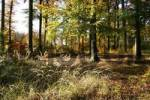 Thumbnail Autumnal colored beech forest