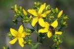Thumbnail Flowering St John's wort, Tipton's Weed, Klamath Weed (Hypericum perforatum), medicinal plant, with honey bee (Apis mellifera)
