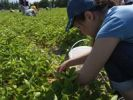 Thumbnail People picking strawberries at an organic farm, Markham, Ontario, Canada
