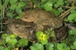 Thumbnail Common Toads (Bufo bufo) on the way to spawning waters