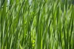 Thumbnail Green reed, background