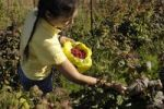 Thumbnail Young woman picking raspberries on an organic farm, Markham, Ontario, Canada