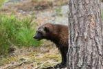 Thumbnail Wolverine or Glutton (Gulo gulo), Sweden, Europe
