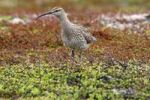 Thumbnail Whimbrel (Numenius phaeopus), treeless tundra in the north of Norway, Europe