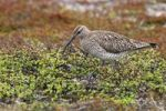 Thumbnail Whimbrel (Numenius phaeopus) at the clutch, treeless tundra in the north of Norway, Europe