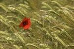 Thumbnail Red Poppy (Papaver rhoeas) in a Barley field (Hordeum vulgare)