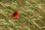 Thumbnail Red Poppy (Papaver rhoeas) in a Barley field (Hordeum vulgare)