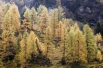 Thumbnail Larch (Larix) in autumn in the Rauriser Tal valley, Nationalpark Hohe Tauern National Park, Salzburg, Austria, Europe