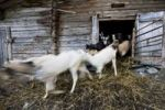Thumbnail Goats running out to the stable of a mountain cabin, Inneralpbach Greidergraben, Alpbachtal valley, North Tyrol, Austria, Europe