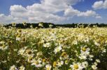 Thumbnail Chamomile (Matricaria chamomilla) on a rape field, Lower Saxony, Germany, Europe