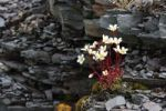 Thumbnail White Mountain saxifrage (Saxifraga paniculata), tundra, northern Norway, Norway, Europe