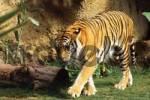 Thumbnail Tiger, Panthera tigris