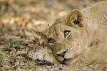 Thumbnail Lioness (Panthera leo), South Luangwa National Park, Zambia, Africa